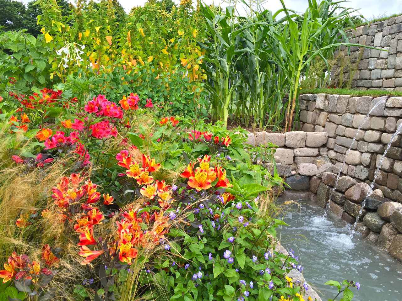 The Inca Garden has an edible section but the Peruvian lilies steal the show
