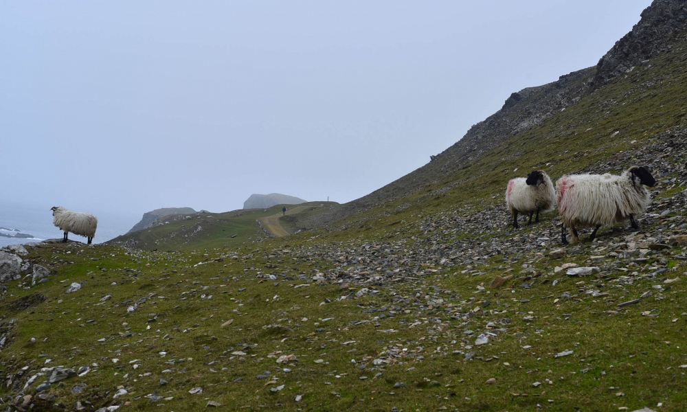 Sheep on lookout on Inishbofin