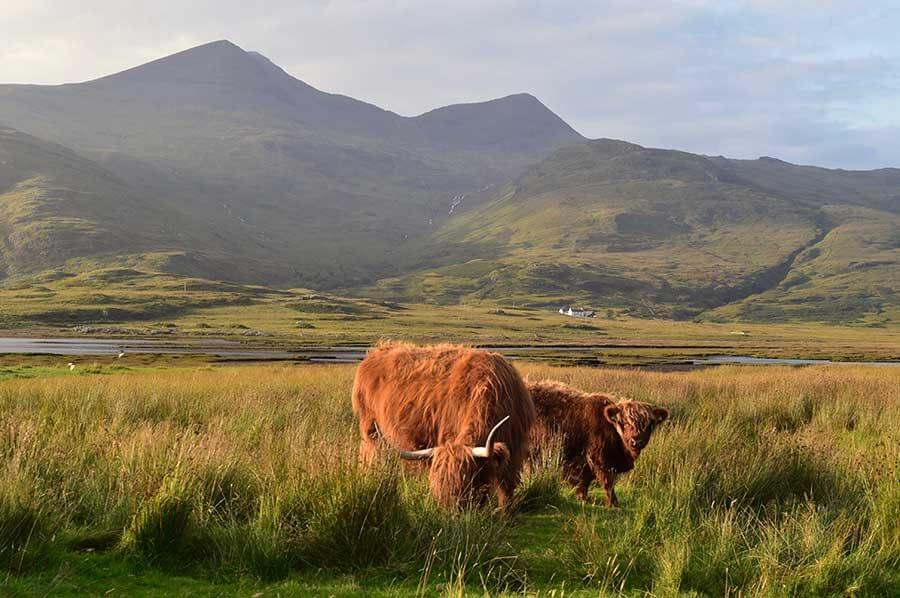 Highland cattle on Mull