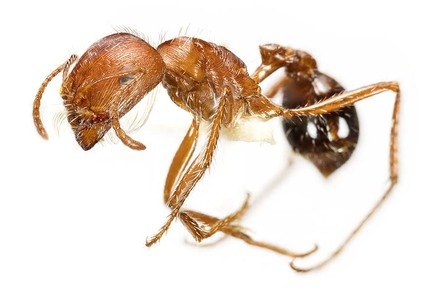 Close up of Harvester Ant. Venom - Killer and Cure Exhibition. Natural History Museum, London.